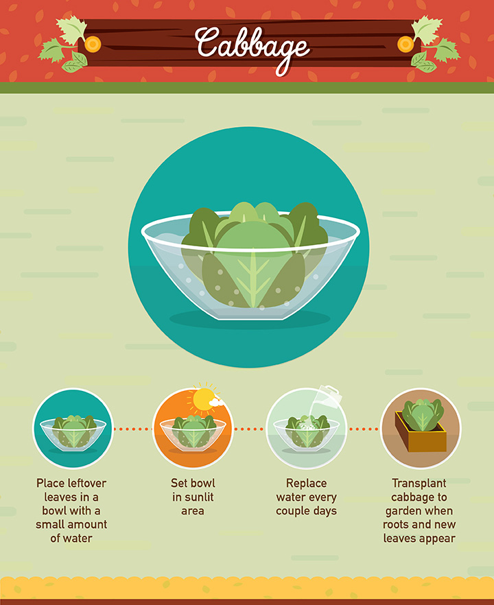 Cabbage - Regrow your left over fuit and vegetables