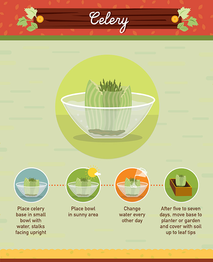 Celery - Regrow your left over fuit and vegetables