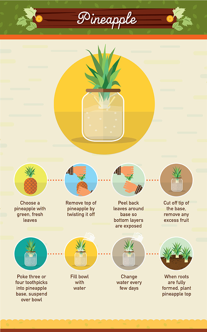 Pineapple - Regrow your left over fuit and vegetables