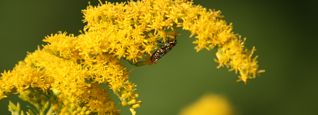 Goldenrod Flowers on the Asgard Garden Blog