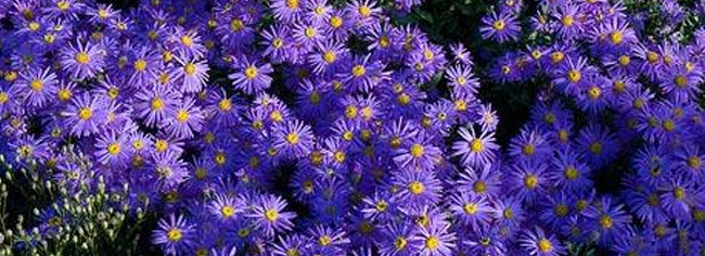 Michaelmas Daisies are perfect for September