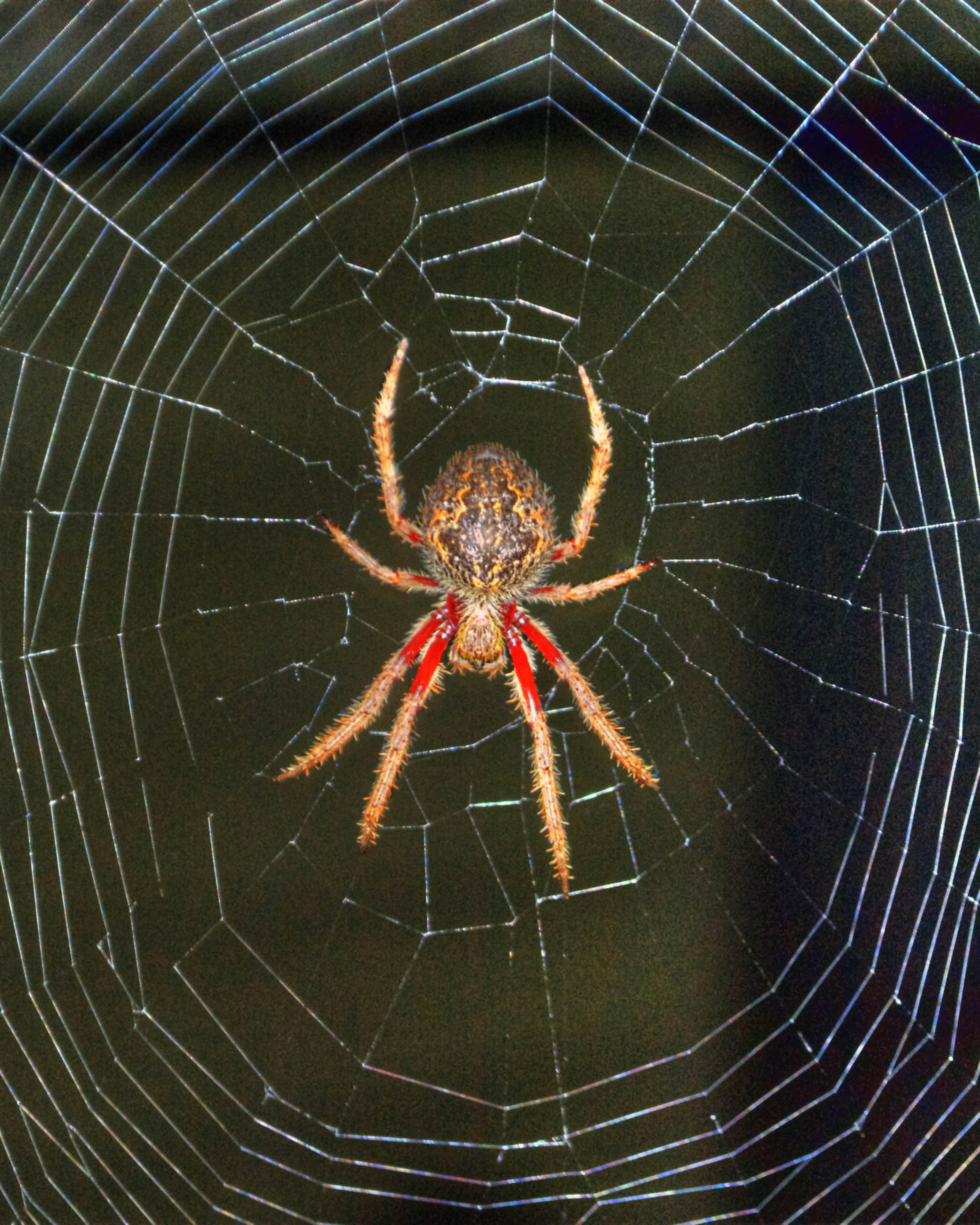 Missing Sector Orb Web Spider