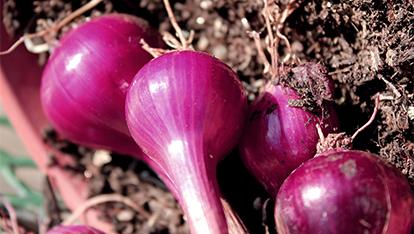 Fresh planted onions
